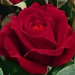 rosa-dame-de-coeur