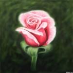 Rose-bud-4d50ae389ffee_hires