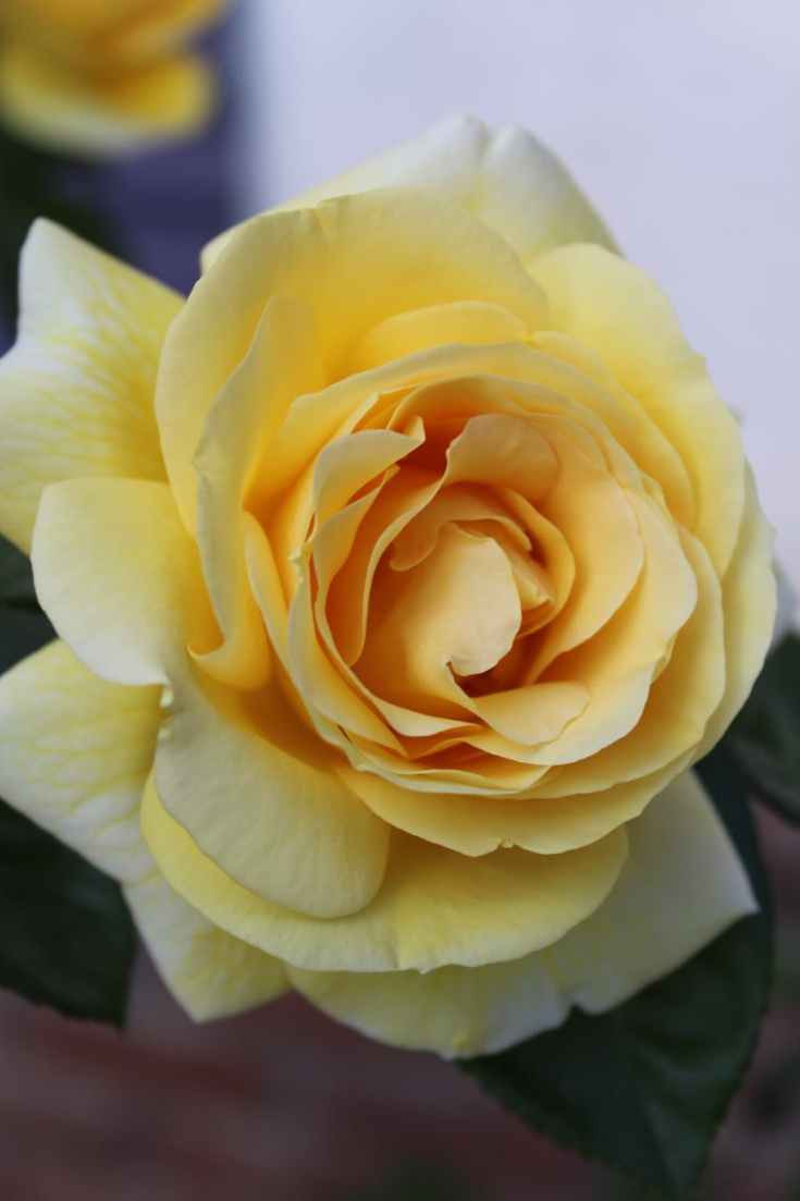 yellow rose flower in close up photography