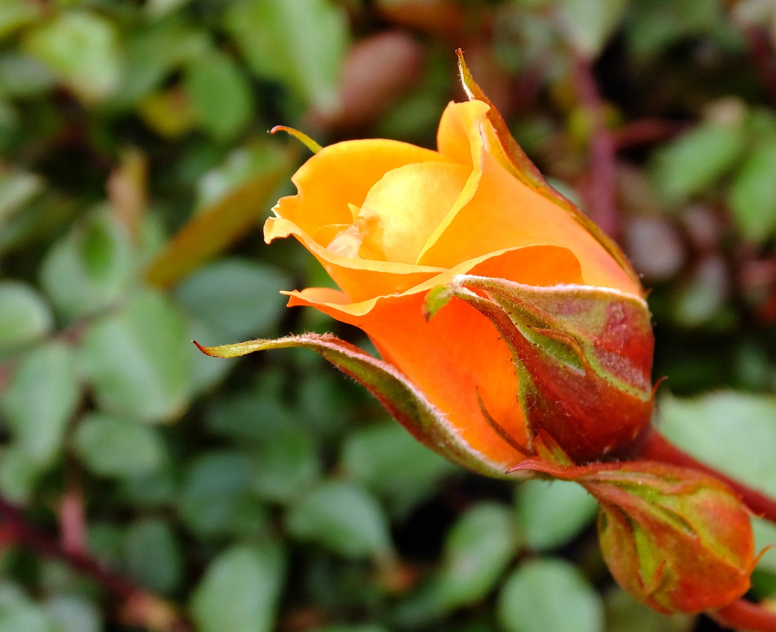 garden orange flower rose