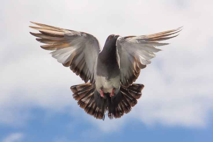 flight pigeon twig