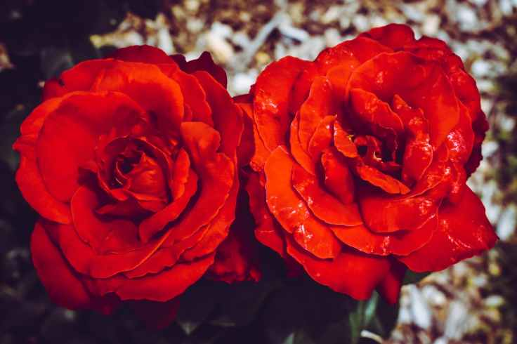 two red flowers